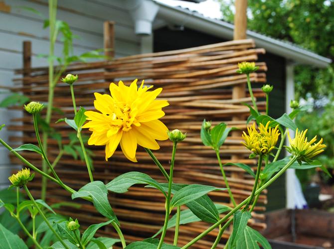gula-blommor2
