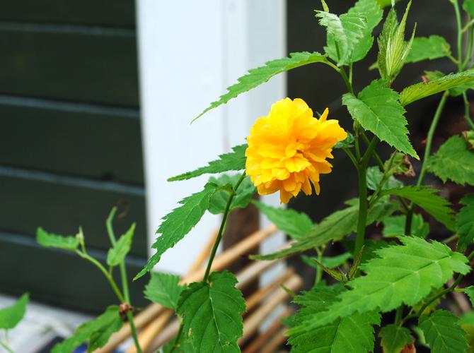 gula-blommor4