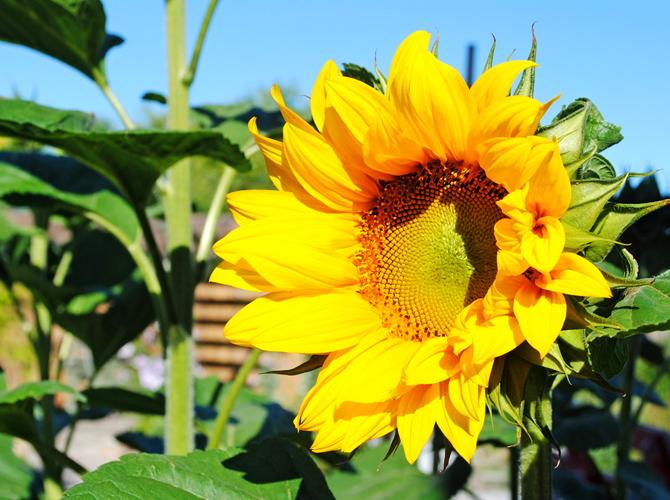 solros-varmt