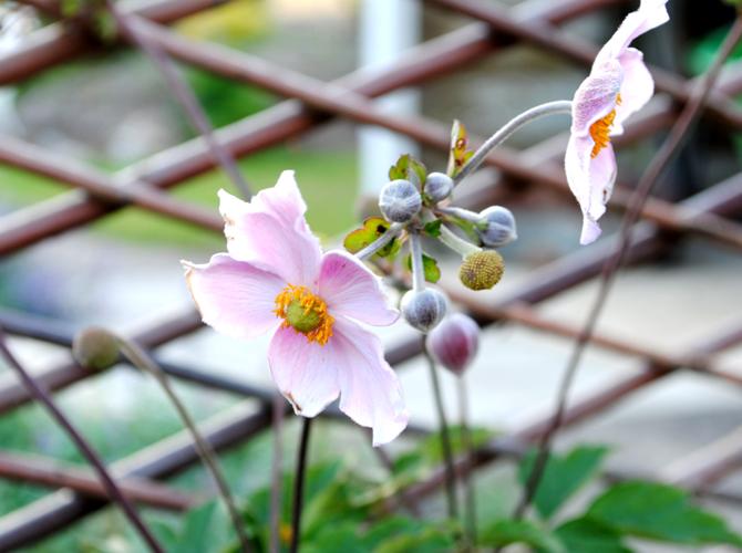 host-anemon