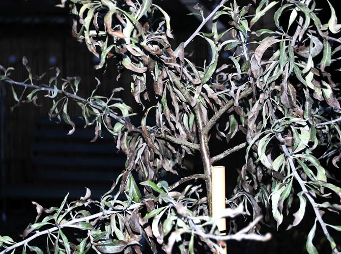 silverparon-bruna-blad5