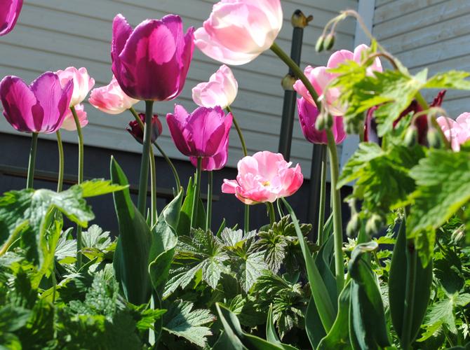 tulpanerna blommar i kapp
