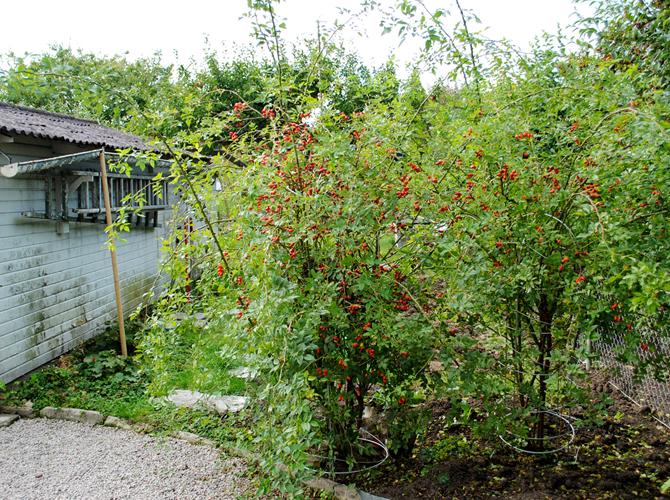 uppfarten-risiga-rosor