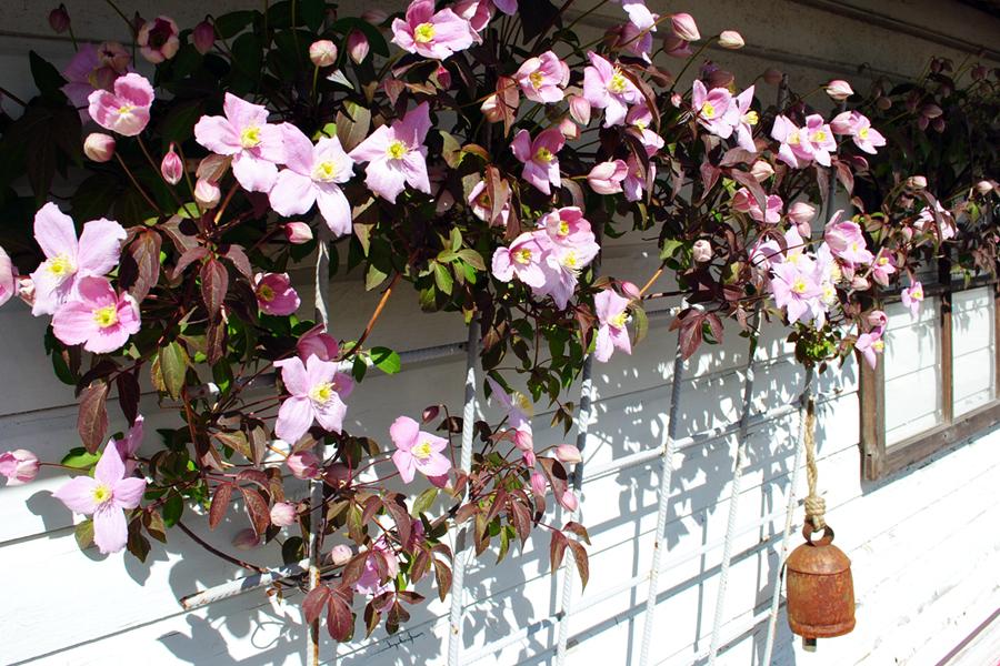 klematis-montruben-blommar