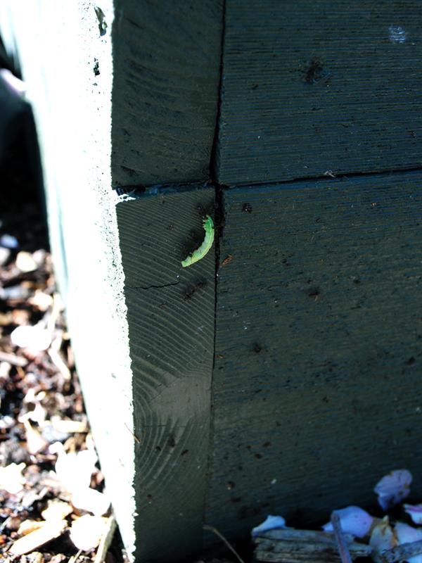 myror-odlingslada-larv