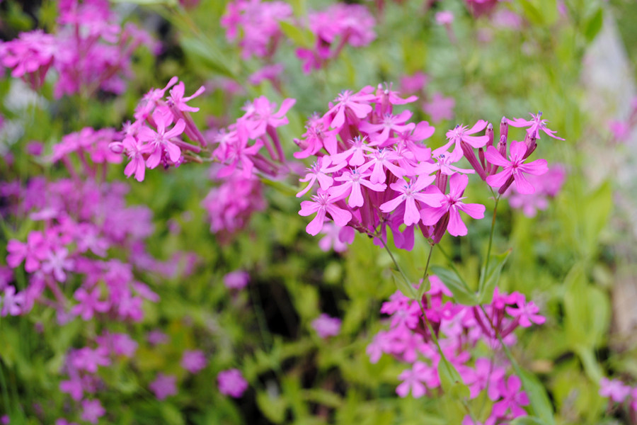 soffan-blommar-i-rosa